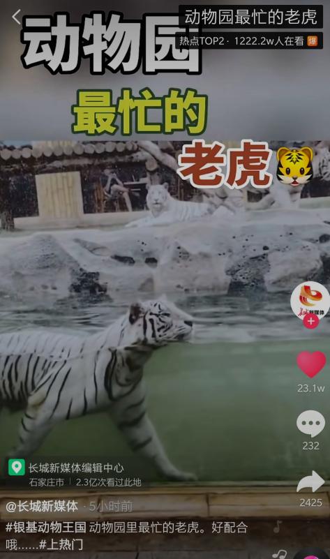 抖音动物园最忙的老虎是怎么回事